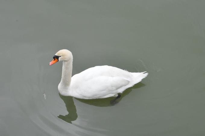 福山動物園 白鳥