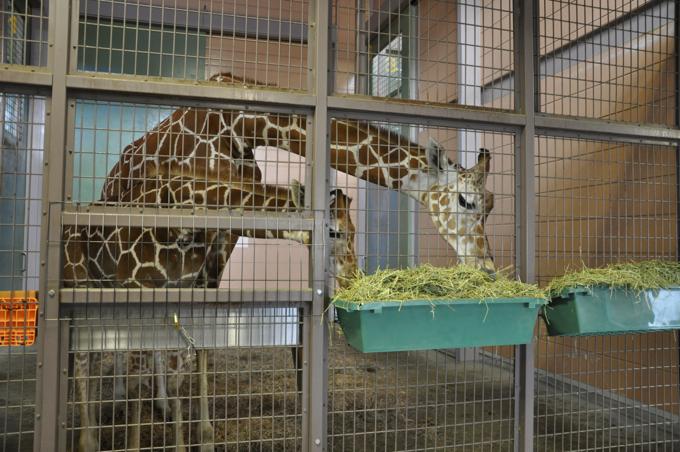 福山動物園 キリン