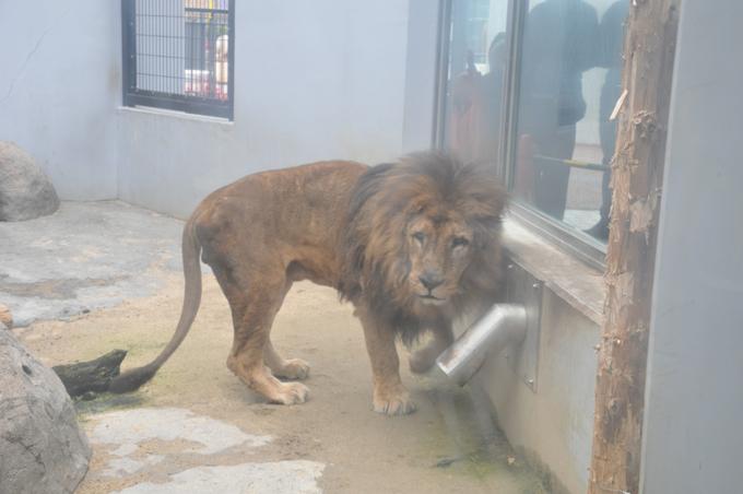 福山動物園 ライオン